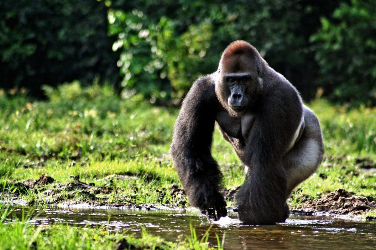 De leukste gorilla knuffel vind je op TopKnuffels.nl
